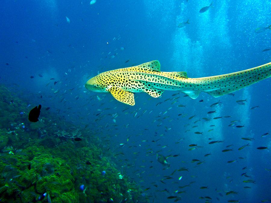 Zebra Teeth Leopard Shark Related ...